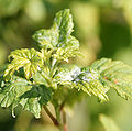 Powdery mildew on leaves of a blackcurrant.jpg