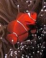Premnas biaculeatus (Maroon or spinecheek anemonefish).jpg