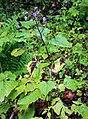 Prenanthes petiolata 2.jpg