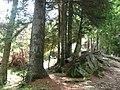 Prin pădurea de brazi - panoramio.jpg