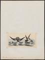 Procellaria nereis - 1820-1860 - Print - Iconographia Zoologica - Special Collections University of Amsterdam - UBA01 IZ17900046.tif