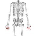 Proximal phalanges of the hand 02 dorsal view.png