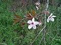 Prunus cerasifera, Santa Coloma de Farners.jpg