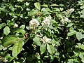 Prunus padus. Cerezal negral.jpg