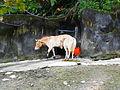 Przewalski's Wild Horse in Taipei Zoo.jpg