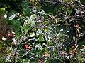 Psittacula krameri 2010.JPG