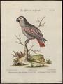 Psittacus erythacus - 1700-1880 - Print - Iconographia Zoologica - Special Collections University of Amsterdam - UBA01 IZ18600063.tif