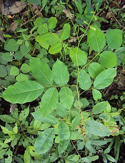 250px-Pterocarpus_marsupium_leaves.jpg