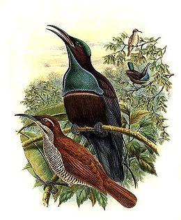 Ptiloris magnificus by Bowdler Sharpe