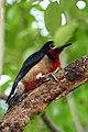 Puerto Rican Woodpecker (Melanerpes portoricensis).jpg