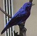 Purple-breasted Cotinga.jpg