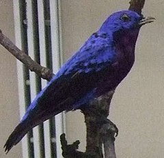 alt=Description de l'image Purple-breasted Cotinga.jpg.