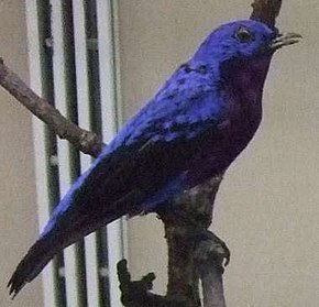Description de l'image Purple-breasted Cotinga.jpg.
