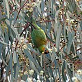 Purple-crowned Lorikeet (36410071130).jpg