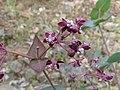 Purple Milkweed (3659532119).jpg