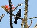 Purple Sunbird(bottom).jpg