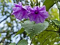 Purple flower in rain forest.jpg