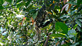 Purple rumped Sunbird (Leptocoma zeylonica) building its nest 04.JPG