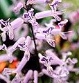Purple tube flowers.jpg