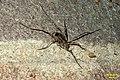 Puzzling spider (FG) (32967375265).jpg