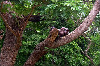 Pygmy chimpanzee.jpg