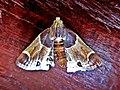 Pyralis farinalis (Pyralidae) - (imago), Arnhem, the Netherlands.jpg