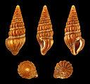 Pyrgospira tampaensis 01.JPG