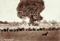 Queensland State Archives 2254 Sheep around bottle tree at Burenda Station 1897.png