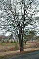 Quercus hemisphaerica (23575999664).jpg