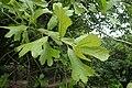 Quercus marilandica kz01.jpg