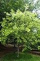 Quercus marilandica kz02.jpg