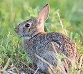 Rabbit bombayhook (17735957031).jpg
