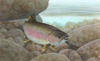 English: Rainbow Trout (Oncorhynchus mykiss) S...