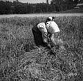 Rakarjevi (mati in hči) iz Št. Vida žanjeta proso v Vel. Češnjicah blizu Št. Pavla 1950.jpg