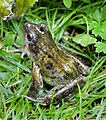 Rana temporaria, Common Frog, Enfield.JPG
