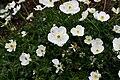 Ranunculus traunfellneri C IMG 4052.JPG