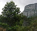 Rapanea melanophloeos - Cape Town - Trees - 88.JPG