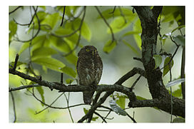 Raw25-Dooars DSC0013 Jungle owlet.jpg