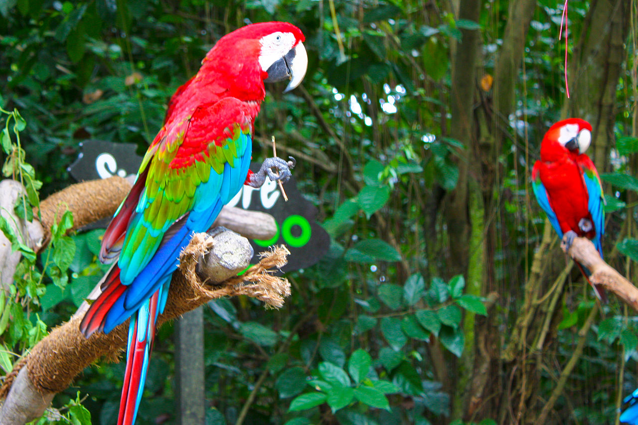 File:Red-and-green Macaw, Singapore Zoo (4447917525).jpg ...