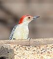 Red-bellied woodpecker (Melanerpes carolinus) (33448364306).jpg