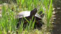 Red-eared sliders (Trachemys scripta elegans).png