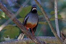 Red-legged thrush (Turdus plumbeus rubripes) chest.JPG