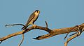Red-necked falcon, Falco chicquera, at Kgalagadi Transfrontier Park, Northern Cape, South Africa. (34384230271).jpg