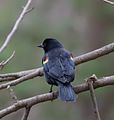 Red-winged Blackbird (Agelaius phoeniceus) (32531306684).jpg