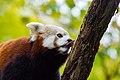 Red Panda (24676668628).jpg