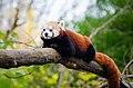 Red Panda 05.jpg