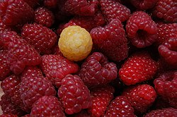 Red raspberries 1 yellow.JPG