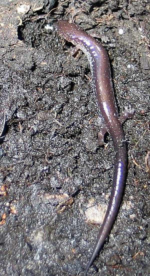 Red-backed salamander - Lead-backed phase