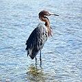 Reddish Egret (4205061612).jpg