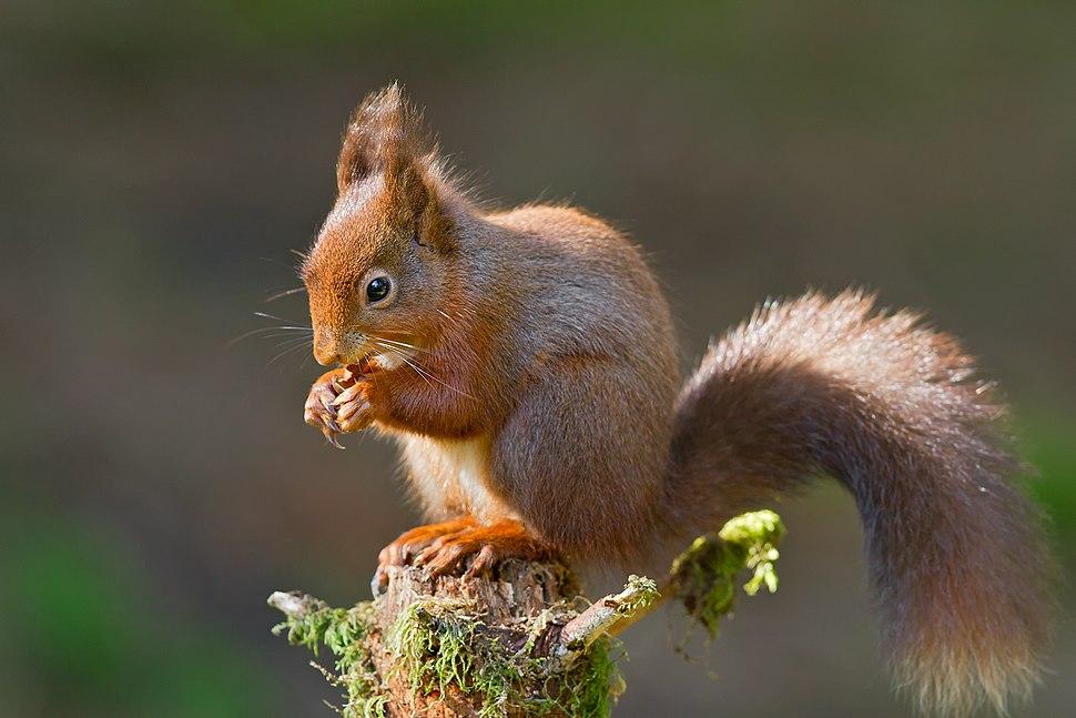 Redsquirrel eating 2012